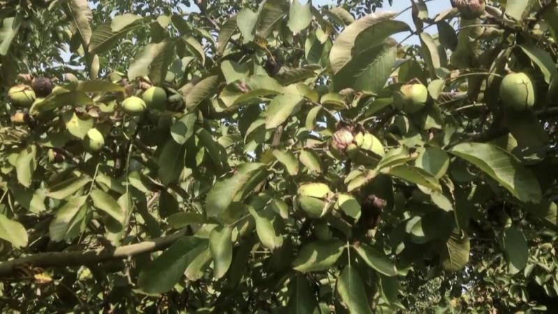 промислове вирощуваня горіхів в Молдові