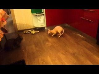 Кошка Рыся приносит мышку. Rysya cat brings a mouse.