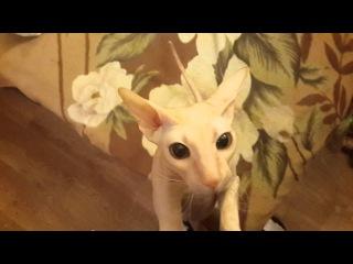 Кошка Рыся хочет гладиться.
