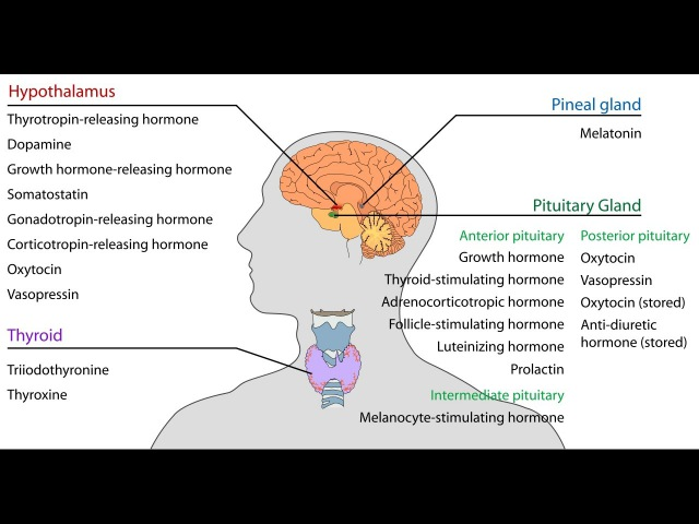 Pituitary Gland Stimulation - I - Hormone Production - HGH, ACTH, TSH, LH, FSH, ADH,