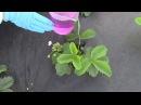 Как подкормить садовую землянику клубнику во время цветения и плодоношения 7dach