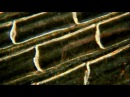 A Fish Tail. 63-125X. Amazing High Definition Microscopy Video! 1080P!
