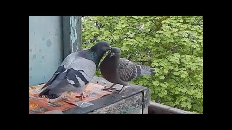 Голуби - Трепетное отношение между отцом и птенцом - Голубиная сага - 7 серия