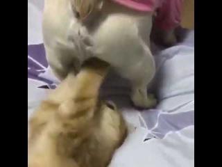 Il gatto gioca con le palline di Cesare Leo Junior Bulldog French