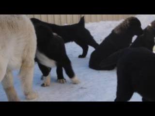 Зидан и щенки