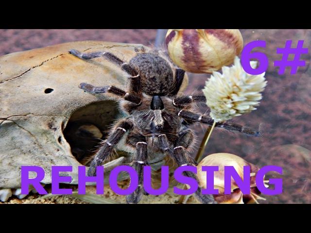 Ceratogyrus darlingi Rear Horned Baboon L9 REHOUSING 6
