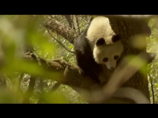 Animal Planet _ Discovery Channel _ Panda Documentary Full HD