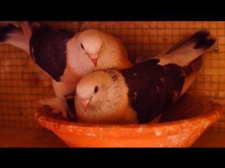 Турецкие бойные голуби Такла.