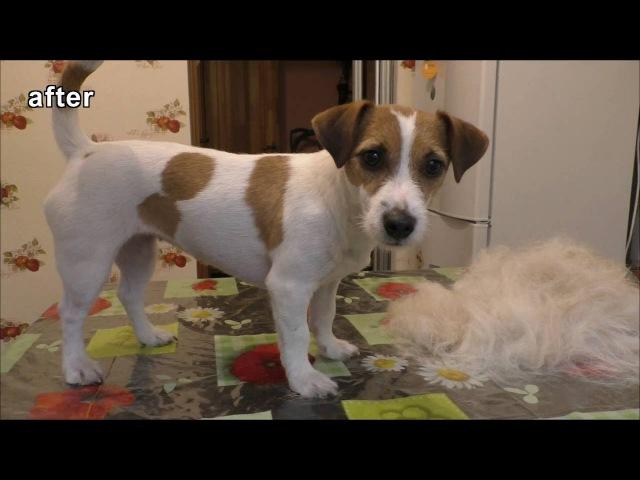 Груминг / тримминг Джек Рассел терьера дома Trimming Grooming Jack Russell Terrier