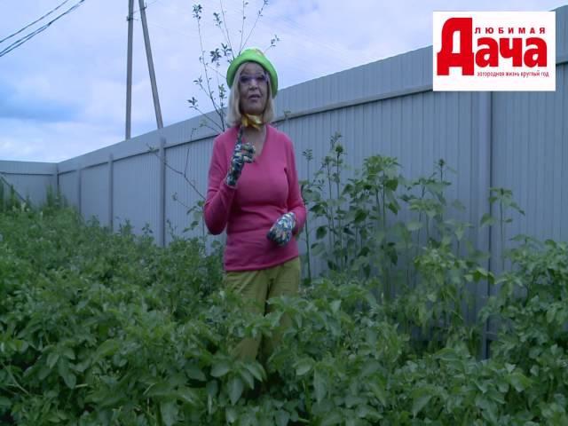 Как посадить и уберечь картофель от колорадского жука