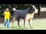 Самая устрашающая собака в Мире - АЛАБАЙ из Казахстана