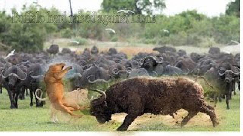 Vua sư tử vs bầy trâu điên Lãnh địa bầy trâu gây chấn động người xem - Lion vs buffalo