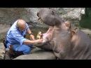 Как Живому Бегемоту Чистят Зубы | Прикол