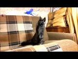 Котенок мейн-кун Magic Forest Gabriella, 5 месяцев