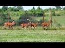 Разведение и содержание оленей в охотхозяйстве Днепр-Холм