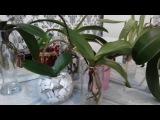 Перикись водорода разб.для обезор.корней. Орхидеи в воде. На что обратить внимание