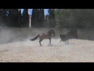 Corrida bull vs horse