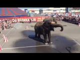 Купание слонов-великанов у цирка!