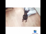 Лилуша. Пражский крысарик. SevStar