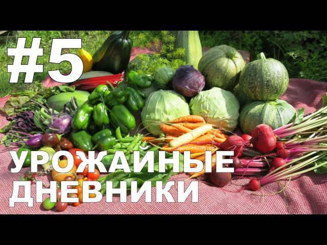 Урожайные дневники 5 03 08 16 🍓🌽🍅 Allotment diary harvesting 5