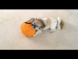 Shih Tzu dog Lacey playing with Halloween pumpkin...and goes nuts!