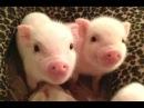 Симпатичные Маленькие Свиньи - это милые маленькие хрюшки. Видео Подборка NEW