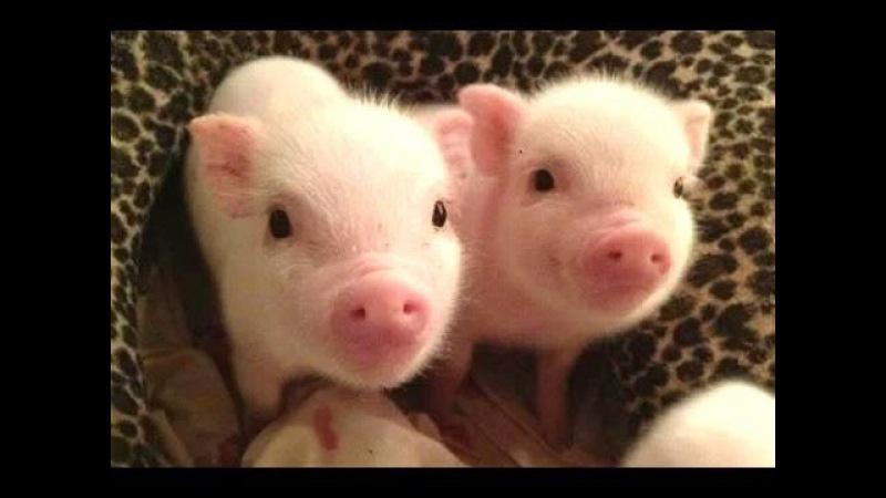 Симпатичные Маленькие Свиньи - это милые маленькие хрюшки. Видео Подборка [NEW]