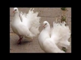 Умоляю, ради Бога тише, голуби целуются на крыше...