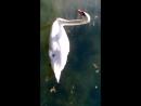 Юркин парк черные и белые лебеди