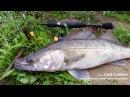 Судачишка за кило порадовал на рыбалке