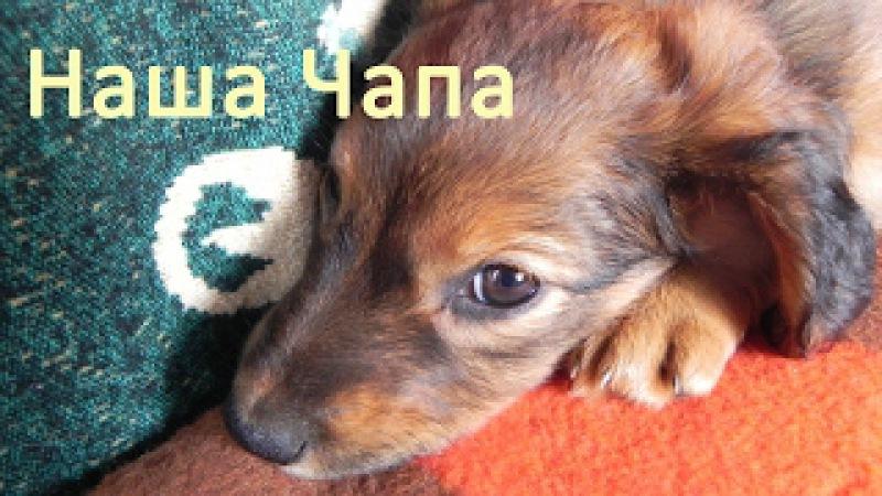 Заболела собака. Лечение чумки у собак в домашних условиях водкой