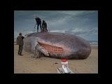 ШОК! В желудке гигантской акулы найдено неизвестное науке существо Тайны мира