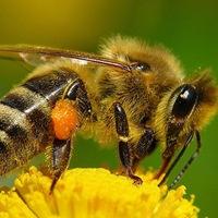 коли сниться бджола