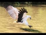 Белобрюхий орлан  White bellied Sea eagle  Haliaeetus leucogaster