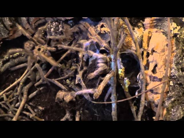 Ceratogyrus brachycephalus mating 2