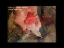 LGF. 021 Oranda Red Cap Grade B 13-14cm (А)