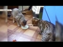 Борьба котов за миску с молоком