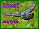 Топ 5.Удивительные факты об уличных голубях.Кормим сизых голубей хлебом