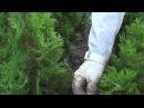 Туя Смарагд Thuja Smaragd посадка подкормка размножение
