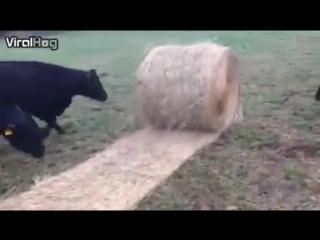 Корова играется с сеном. Кто сказал, что нельзя играть с Вашей едой, когда она катится? Животные тоже любят играться.