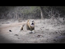 Лев, животное-мудак секс 40 раз в день, многоженство, драки, тунеядство  Все как у зверей_7168