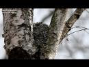 Aegithalos caudatus 2(Long-tailed Tit, Длиннохвостая синица, Ополовник, гнездо 6 метров) Moscow HD 2016-1