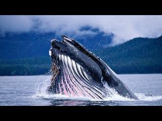 Мир гигантских китов. Документальный фильм.