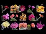 Cactus floreando en c