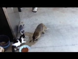 Енот крадёт еду у кошаков