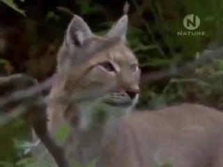 Дикая кошка Рысь