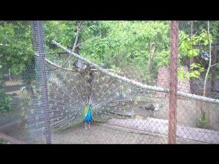 Павлины в Пензенском зоопарке, часть 3