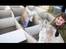БОЛЬШИЕ КОШКИ ЛЮБЯТ БОЛЬШИЕ КОРОБКИ / BIG cats DIG BIG boxes