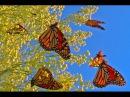 Миграция бабочек Монархов из Канады в Мексику Удивительное и незабываемое зрелище