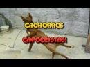 Cachorros Capoeiristas! [Dogs Fight Capoeira]